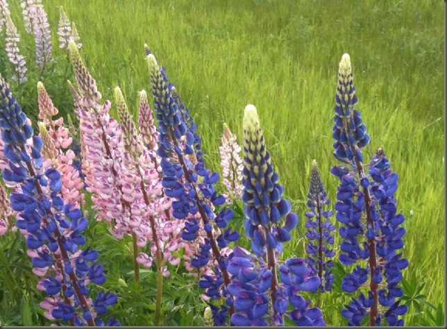 Pei Lupins June 2011