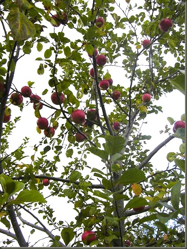 appletrees