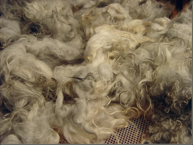 shetland fleece drying jan 14 2011